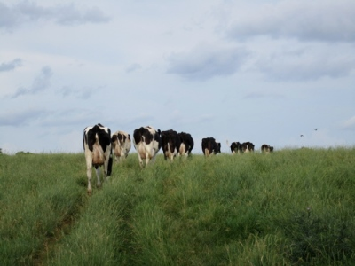 dairy cows walking in pasture