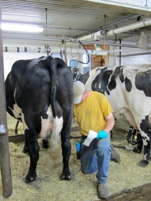 Dairy farmer milking cow in tiestall barn