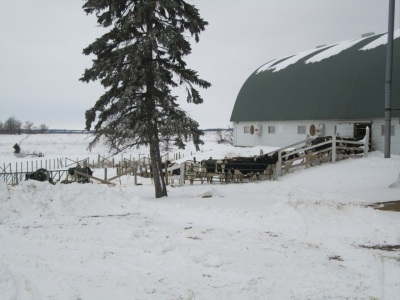 Dairy cows outside barn in winter